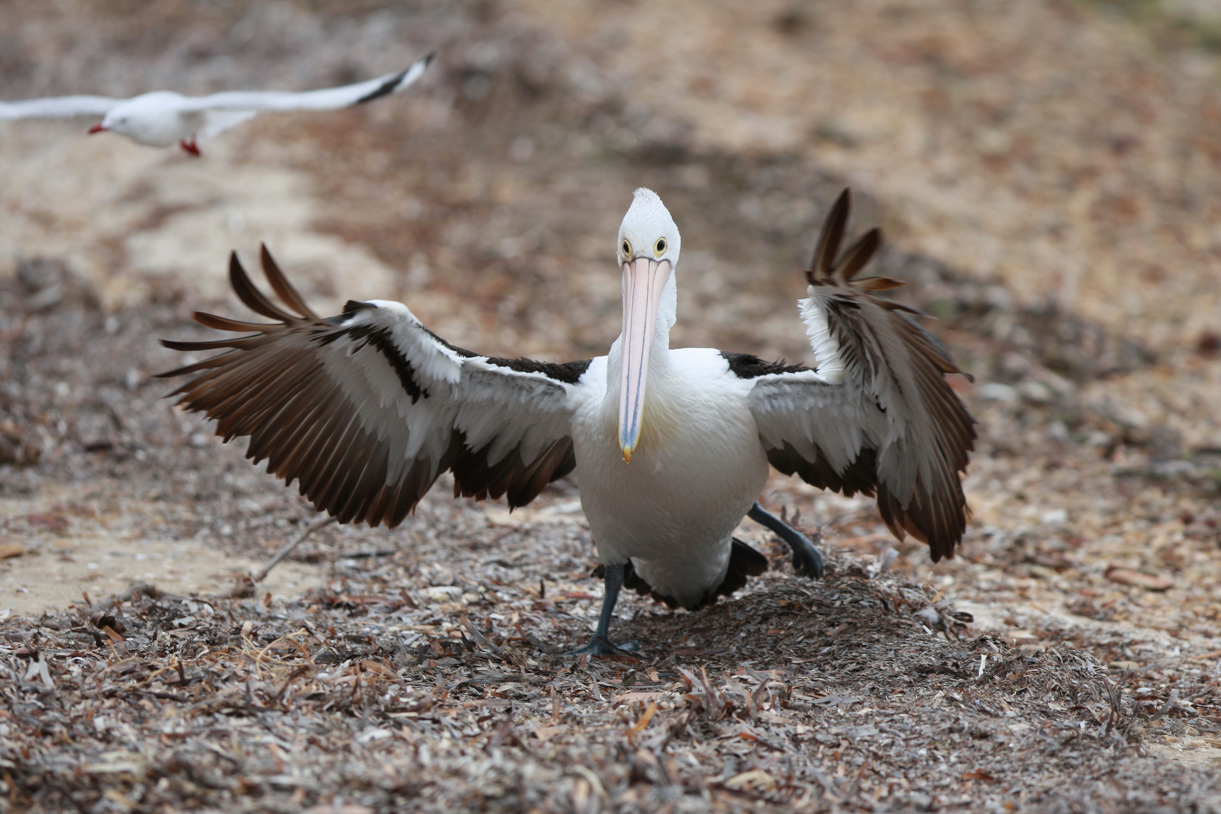 Australia_Wildlife_95